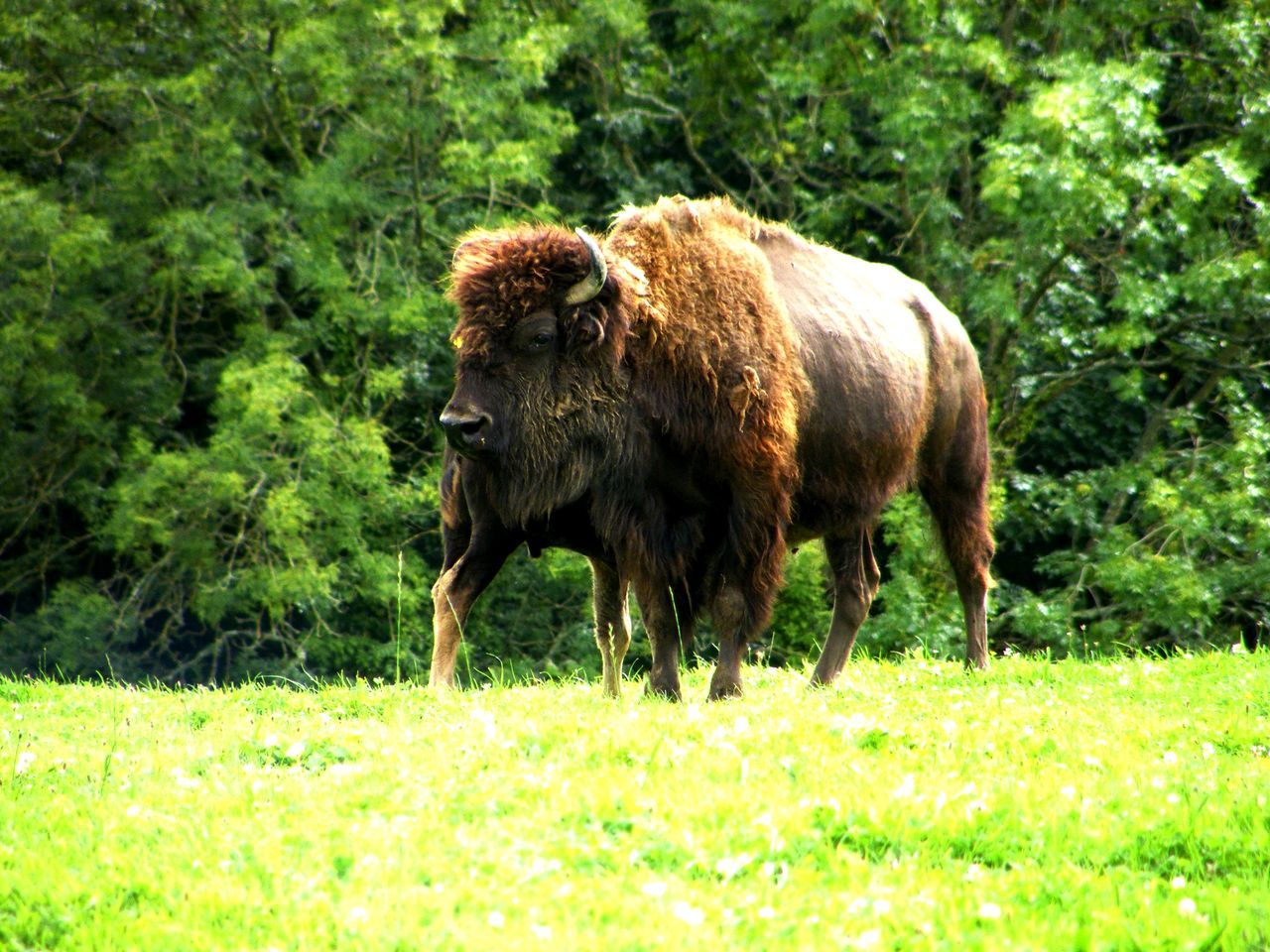 Animal Themes Beauty In Nature Bison Cattle Day Domestic Animals European Bison Grass Green Color Growth Highland Cattle Livestock Mammal Nature No People One Animal Outdoors Wisent