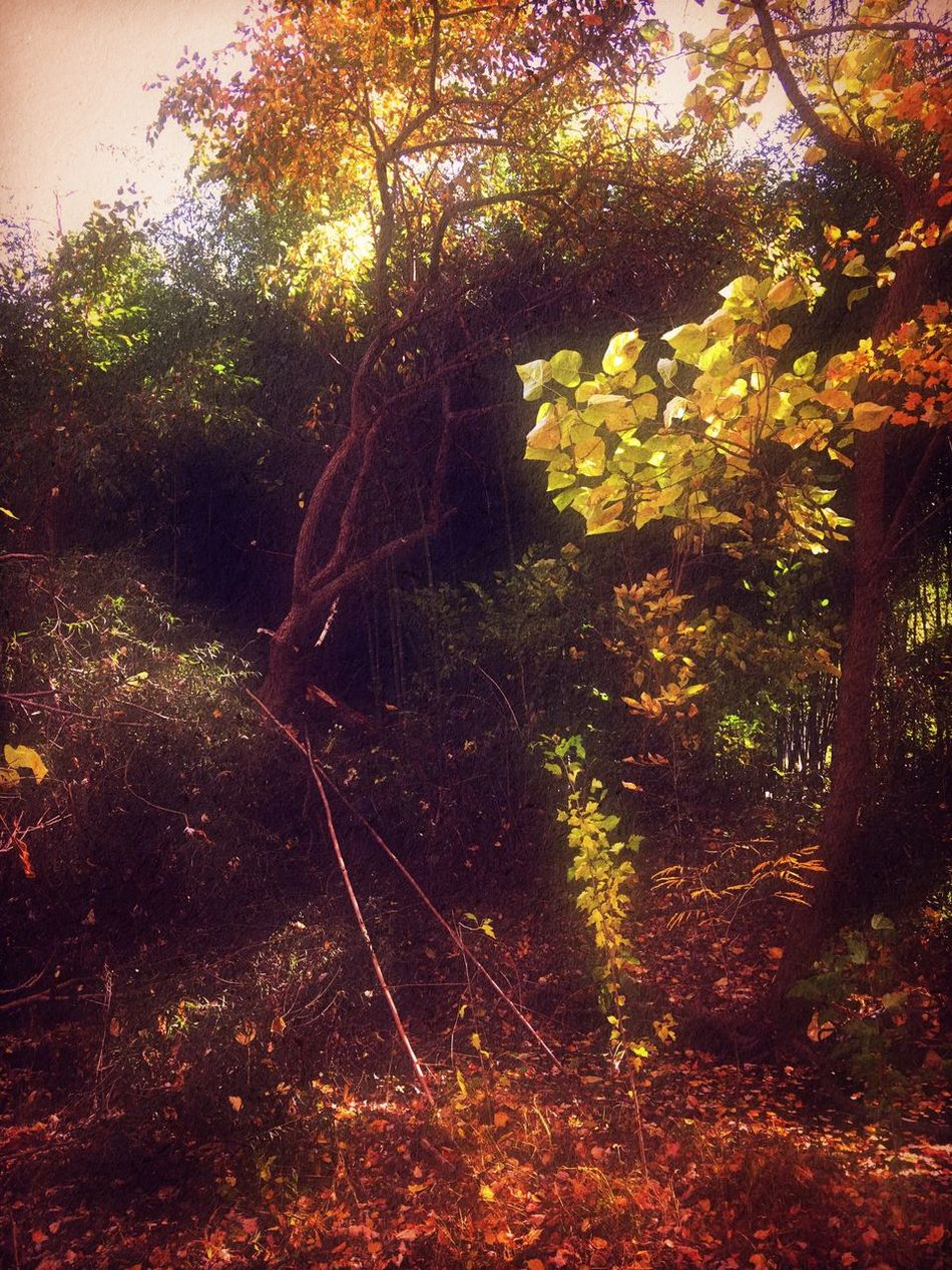 Fall foliage Nature Tree No People Growth Forest Beauty In Nature Outdoors Tranquil Scene Plant Tranquility Day Leaf Fall Colors Iphonephotography Taking Pictures Relaxedand Happy Woods Beauty In Nature Autumn