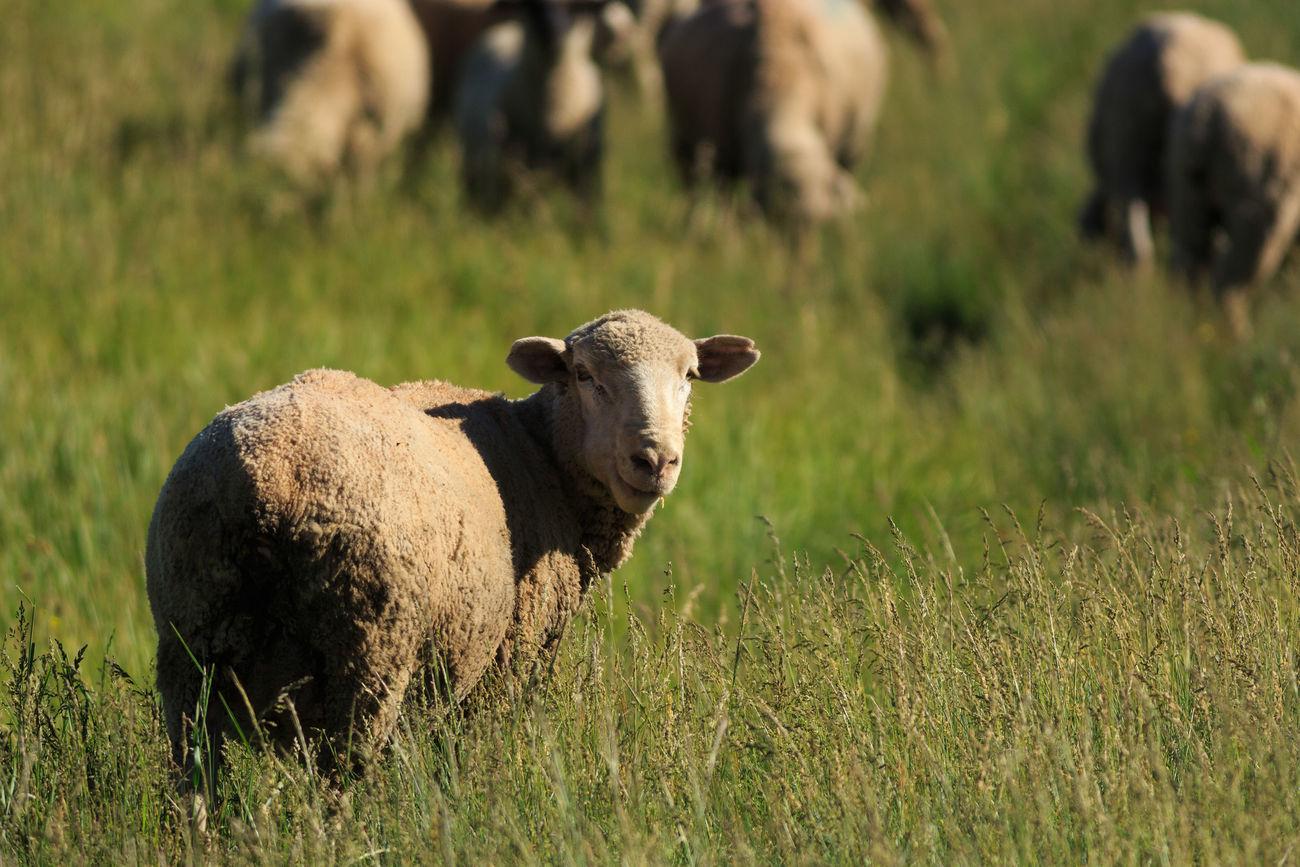 Sheep Grass Livestock Herd Animal Themes Domestic Animals Pasture Animal Outdoors Farm Animals Grass No People Sheep Sheep Ranch Sheep Farm Sheep Meadow