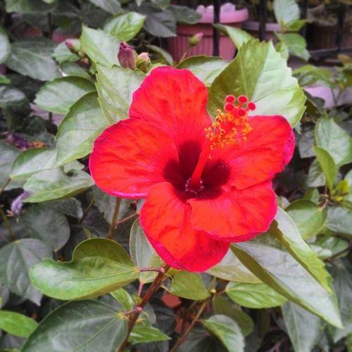 Gumamela. EyeEm Nature Lover Flower VSCO Vscogood Vscphilippines