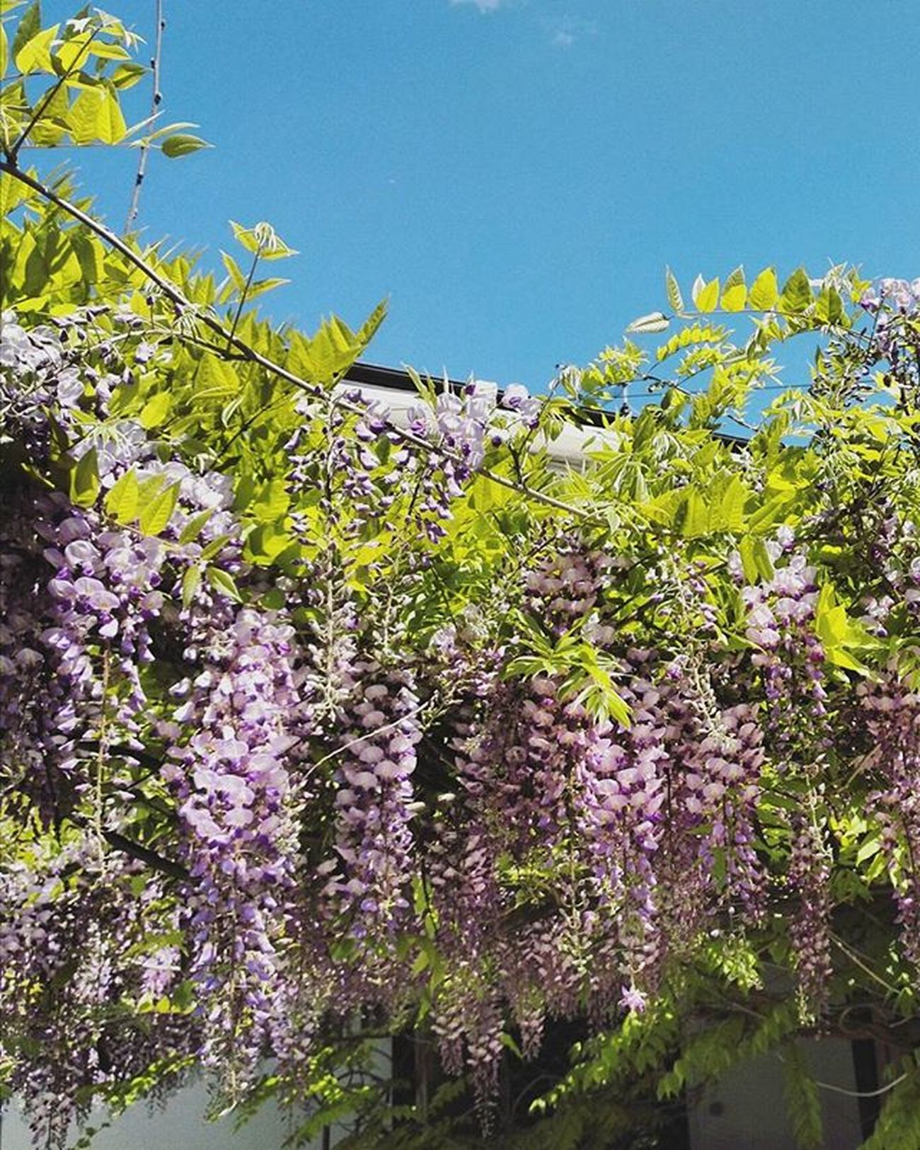 Flowers Art Nature Flower Wisteria Glicine Countryside Branches Spring Landscape Italy Sunny Colorful Vscocam Photography Followme Like4like Likes L4l Likes4likes Photooftheday Love Likeforlike Likesforlikes Instagood likeall likealways liking instalike