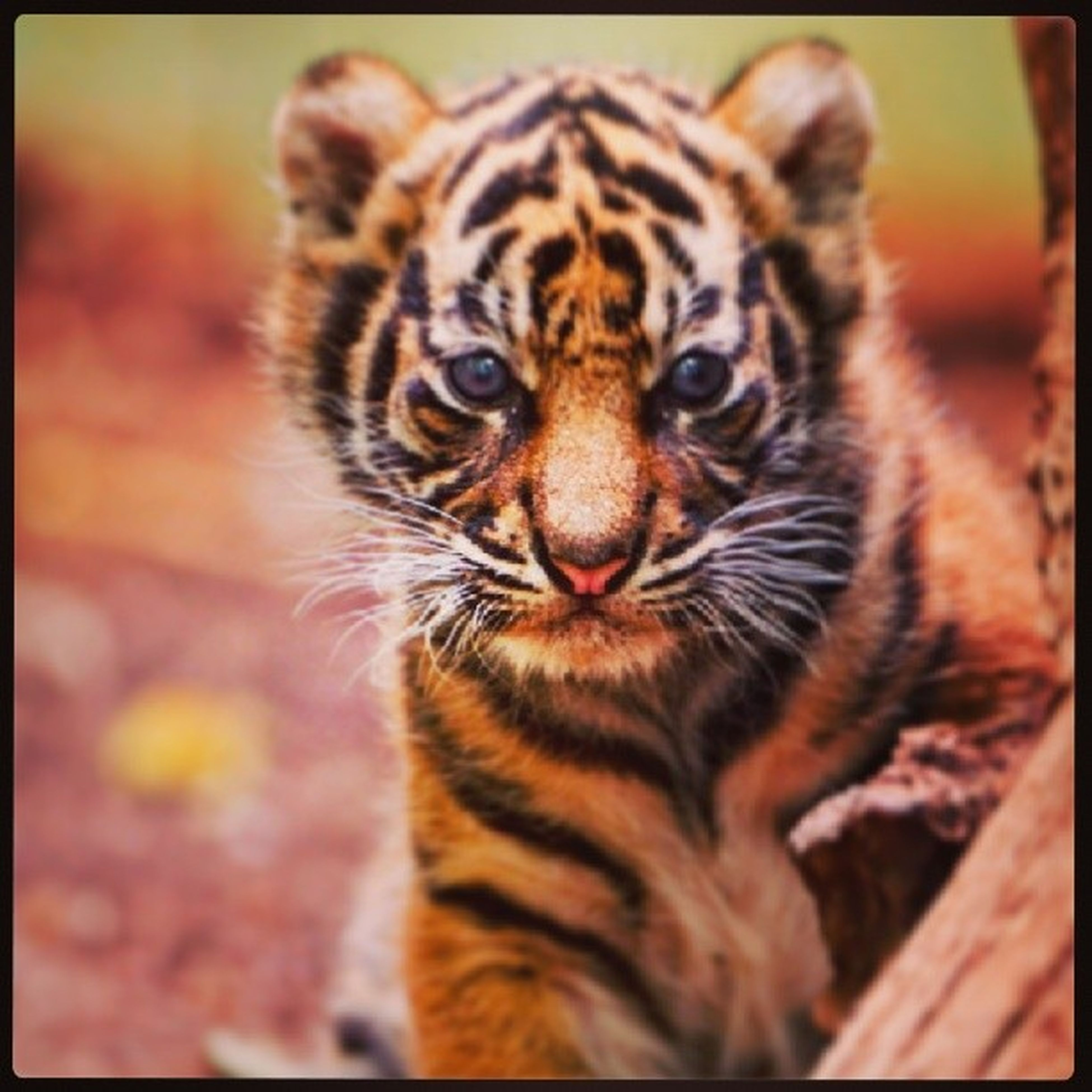 animal themes, one animal, transfer print, auto post production filter, mammal, close-up, wildlife, focus on foreground, animals in the wild, portrait, animal head, whisker, pets, looking at camera, outdoors, no people, animal markings, feline, zoology