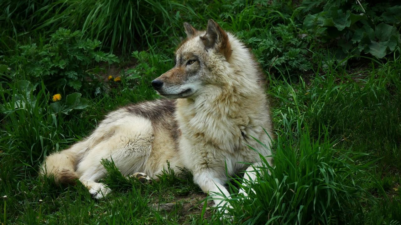 Enchanted Noble Nobility Grass Animal Wildlife Nature Close-up Outdoors Mammal Animals In The Wild Monogamous Timber Wolf Monogamy Pack Leader Wolf WOlves Faithful Grey Wolf Grey Wolves Full Moon Alpha Alpha Male Quebec Canada The Great Outdoors - 2017 EyeEm Awards