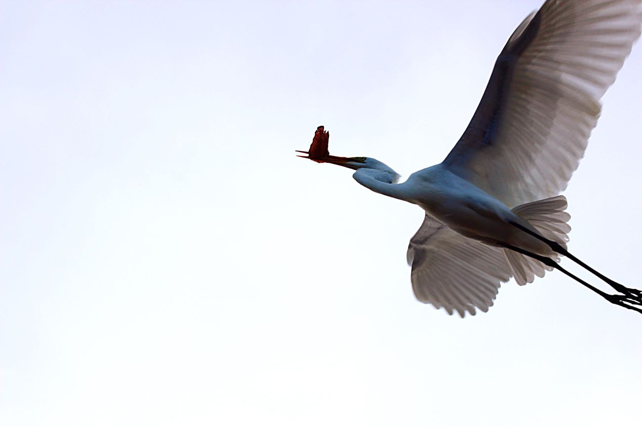 """The Crane"" Bird In Flight Bird Capturing Movement Flight White Background Negative Space Composition No People Nature Birds In The Sky Carefree From Below Outdoors Point Of View Lifestyles Sky Frozen Moments Fast Shutter Speed Single Object Happiness Eating Birds Eye View Movement"
