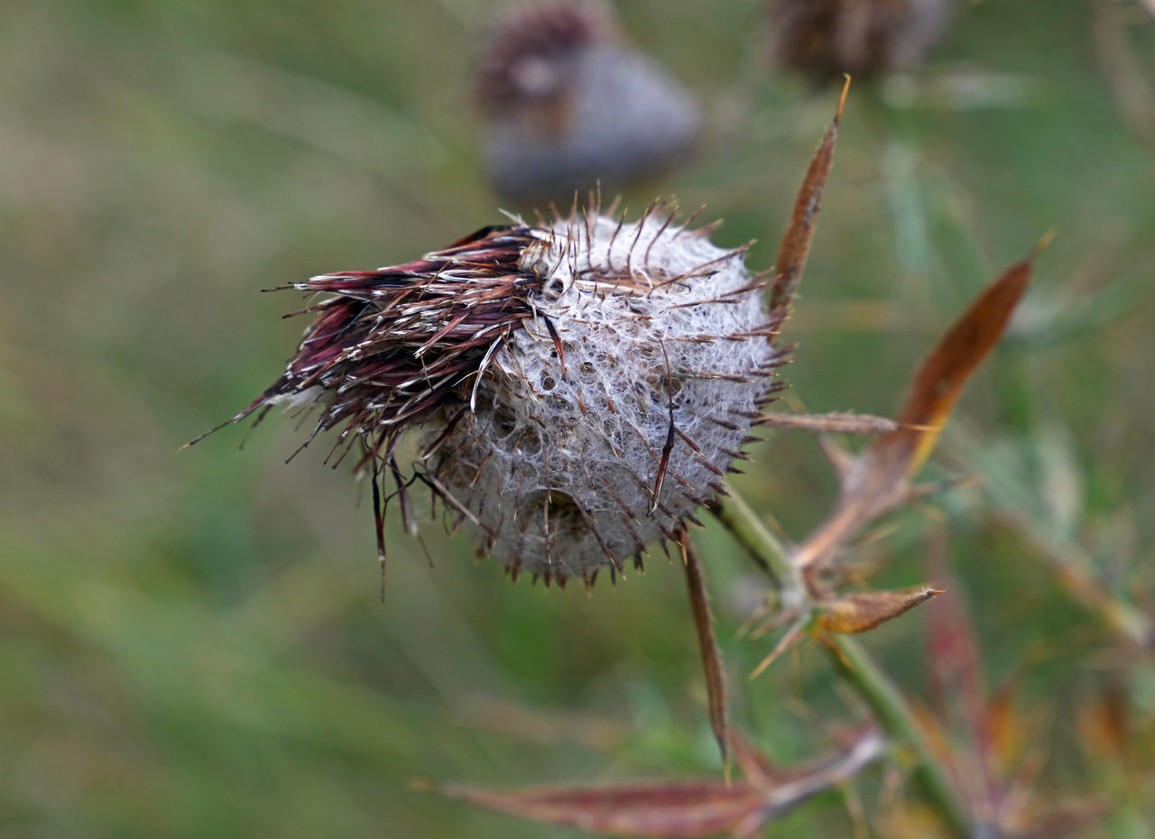 Dried thistle flower head button after blooming Autumn Beauty In Nature Burrs Button Close-up Day Dried Dried Plant Field Flower Flower Head Fragility Freshness Growth Nature Outdoors Plant Plant Pod Season  Sharp Sticker Thistle Thorn Tranquility Wilted Plant