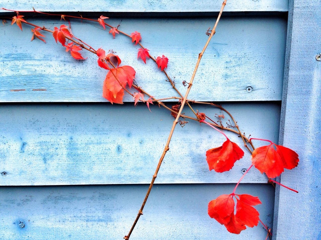 Branch with maple leaves against wooden wall