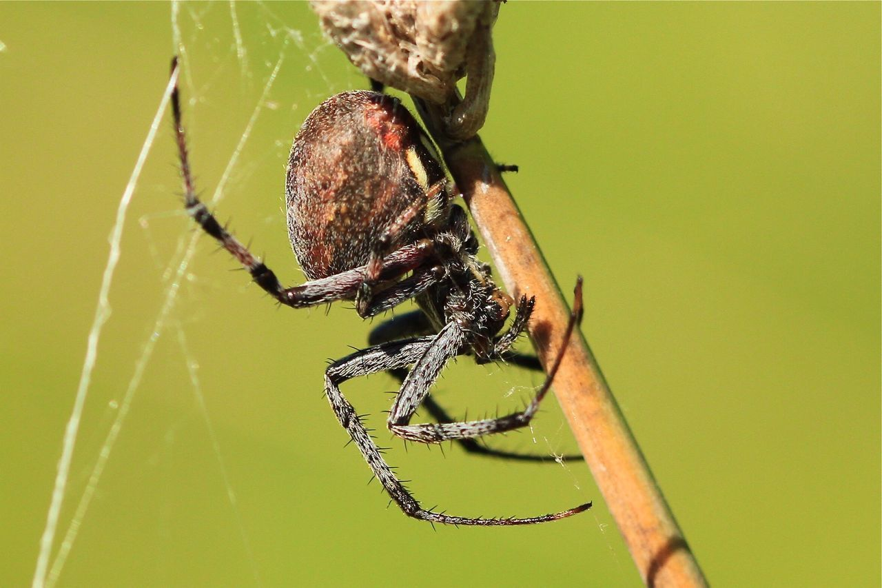 Beautiful stock photos of spider's, Animal Themes, Animal Wildlife, Animals In The Wild, Close-Up