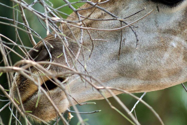 Giraffe Animal Themes Close-up Close-up Shot Day Domestic Animals Headshot Mammal Nature No People One Animal Outdoors