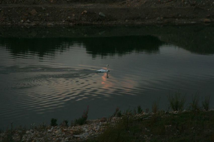 Swan Lake at Scorton Lakes Scorton Lakes  Birds_collection Bird Photography Birds Nature_collection Swans Popular Photos Streamzoofamily Reflection_collection