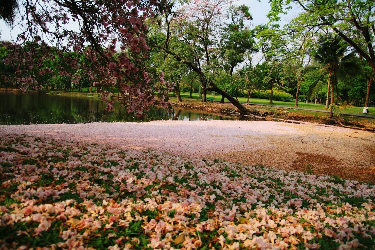 Pink flower Growth Tree Nature No People Field Beauty In Nature Outdoors Tranquility Day Scenics Flower Agriculture Landscape Freshness Tabebuia Rosea JJ Park Jatujak Park Thailand Beauty Of Thailand Jatujak Park Lake Blossom Flower
