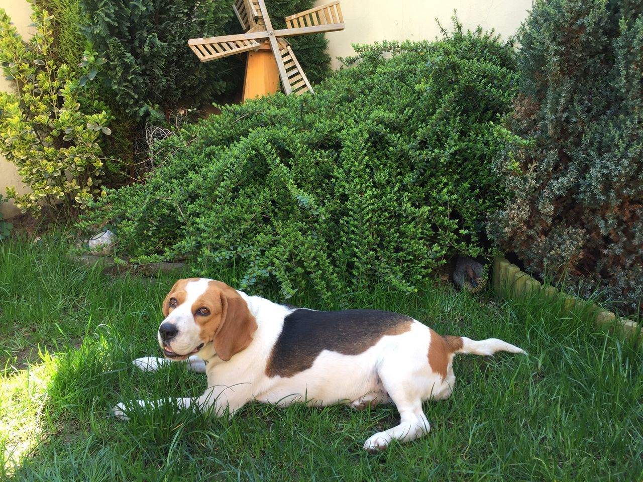 dog, pets, domestic animals, one animal, animal themes, grass, growth, mammal, day, green color, plant, nature, outdoors, no people, tree, beagle