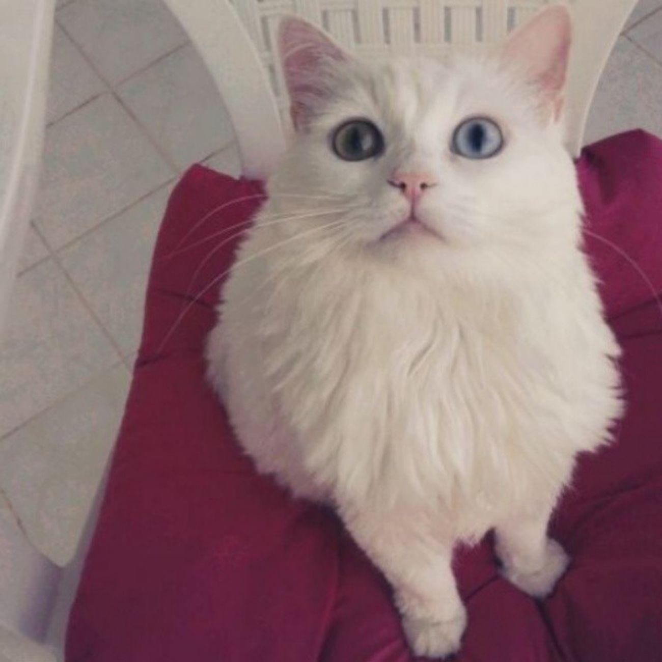 Bi lokmacik ballı lokma mayaa_2 Benimkedim Maya Mayukhan Cat kedi missgibiolduk caniçi vankedisi vancat instacat instagram