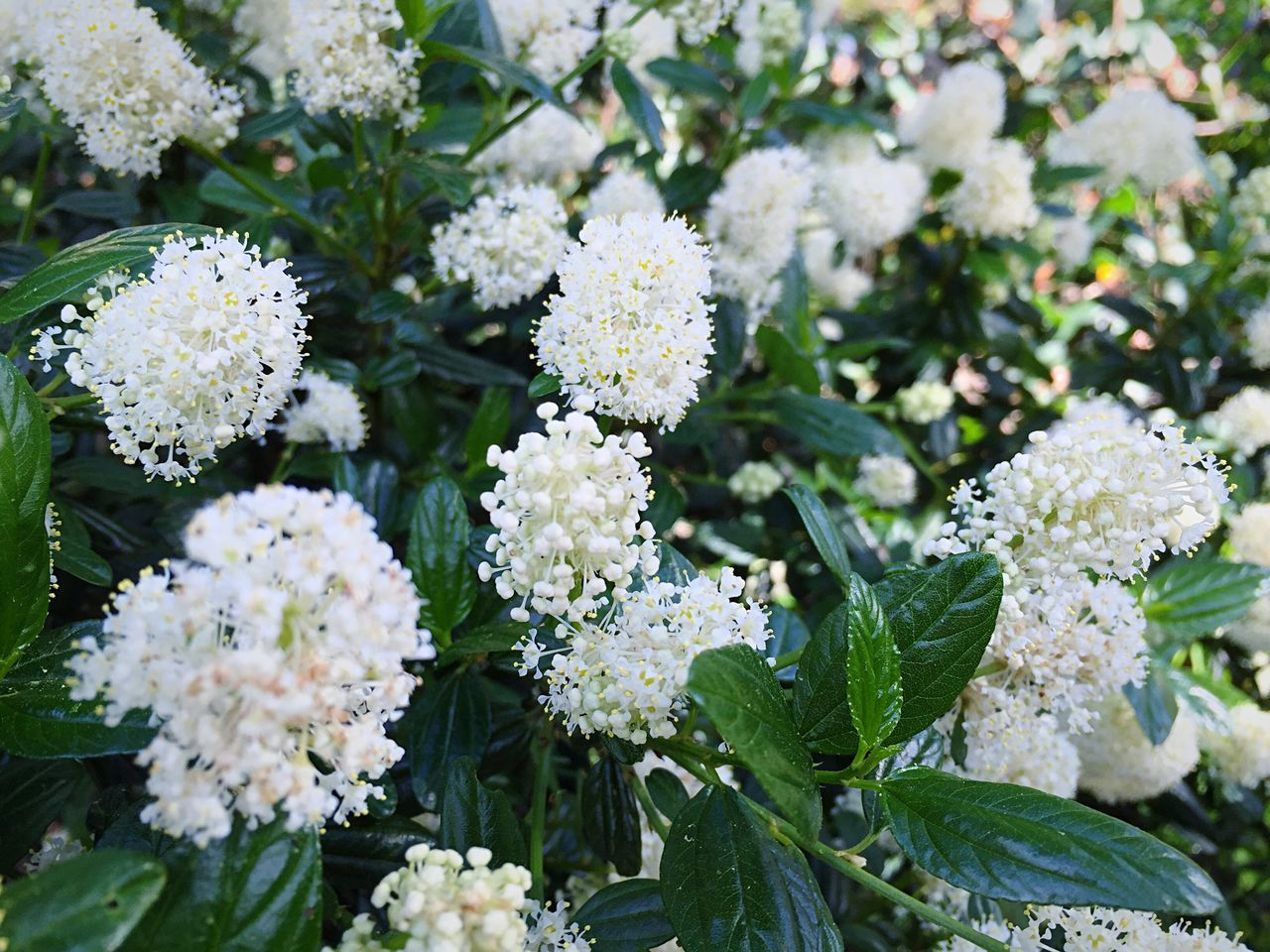 Ceanothus White Ceanothus Alba California Native Winter Blooms Open Edit Shrubs