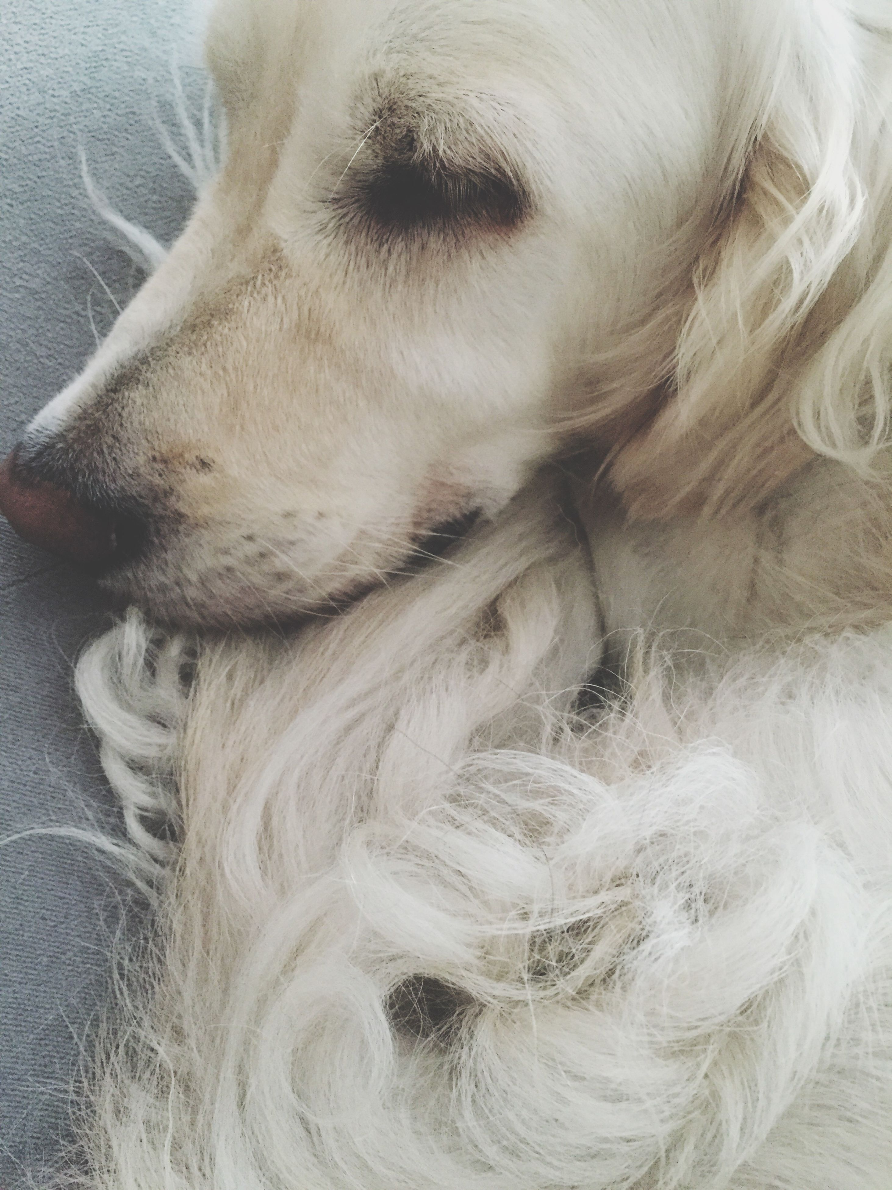 one animal, animal themes, dog, domestic animals, pets, close-up, animal head, animal hair, zoology, loyalty, animal, pampered pets, outdoors, no people, animal nose
