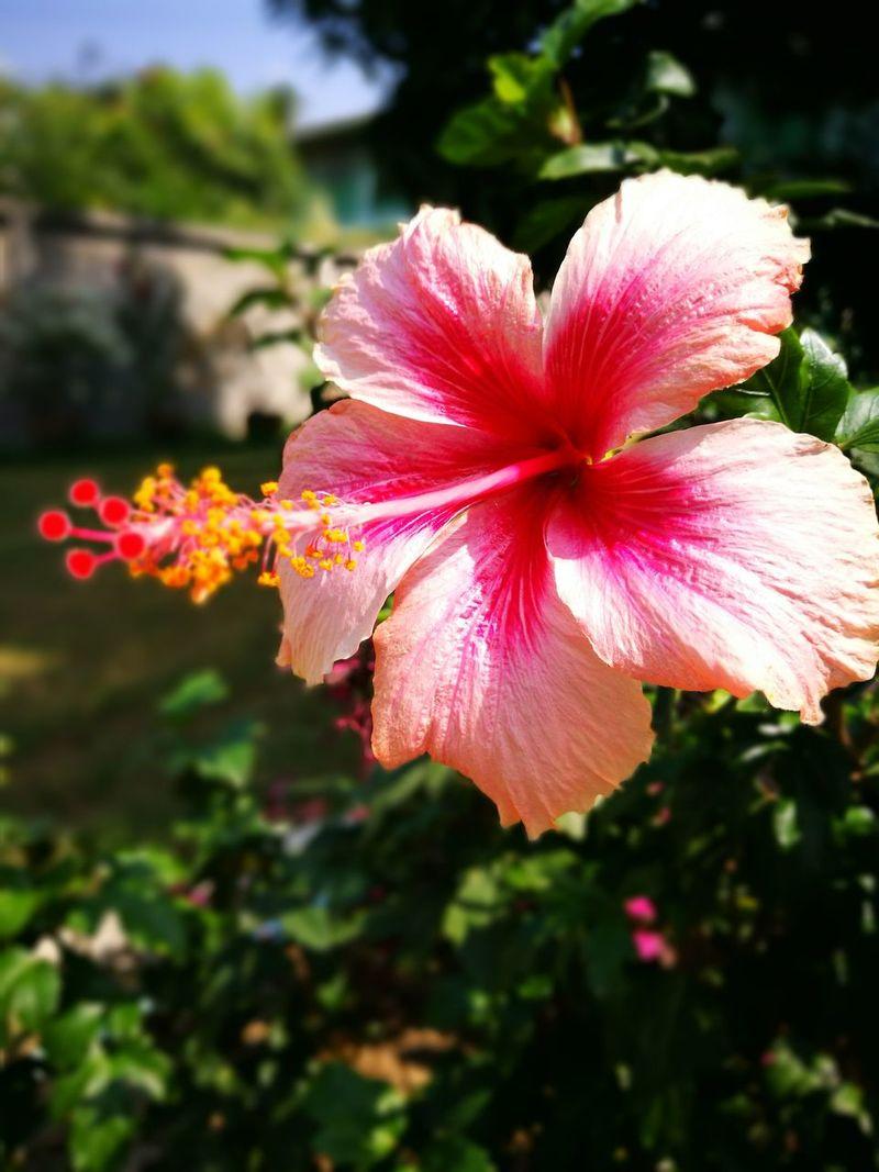 ชบา Chaba Pink Color Beauty In Nature Flower Head Flower Growth Day Outdoors My Flower Edition Flowers, Nature And Beauty Flowers_collection Nature_collection