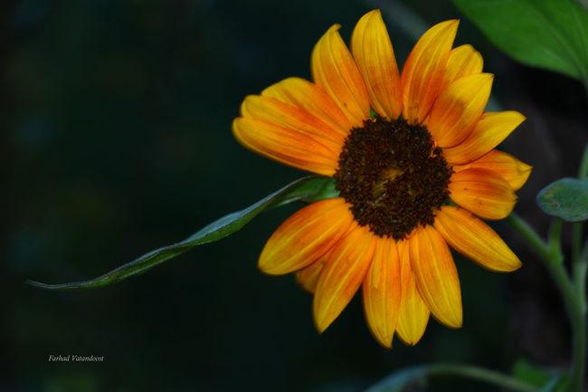 Nature Flowers Flower Of Eyeem Sunflower Sunflowers🌻 Iran♥ Iranianphotographers Flowerphotography Guilin