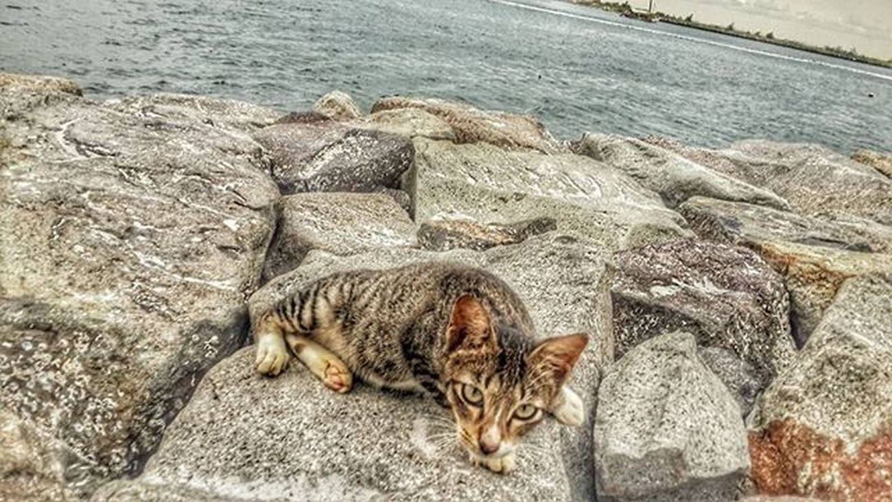 Cat in the beach Uber @geonusantara Geo011600669 Geo0052uber Lokasi :pantai bende Keluarga Geojabodetabek Geonusantara Cat Animal Beach Rock Sea Cat Cats Animals Landscape Land Seascape Model Photography Photograph Photo Peace HDR Hdr_pics HD Phonegraphy Photography amateur instanusantara serikat_fi Peace