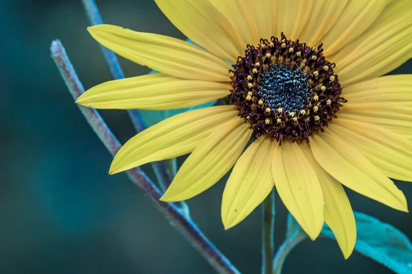 Macro Sunflower Flower Petal Fragility Yellow Flower Head Freshness Pollen Nature No People Beauty In Nature Close-up Day Plant Growth Outdoors Blooming Black-eyed Susan
