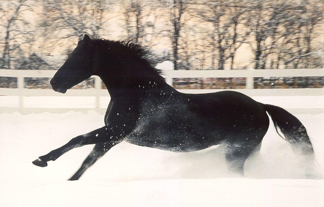 Stallion in snow Black Color Blackandwhite Day Galopp Horse Lifestyles Showcase July! Snow Stallion Winter
