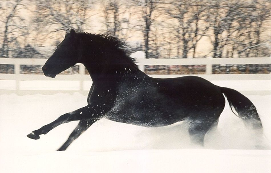 Stallion in snow Black Color Blackandwhite Day Galopp Horse Lifestyles Showcase July! Snow Stallion Winter