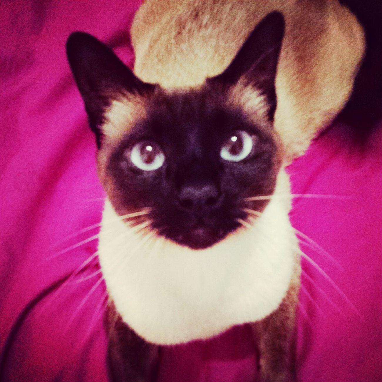 Siamese Cat Super Cute My Precious Gem Kittylover