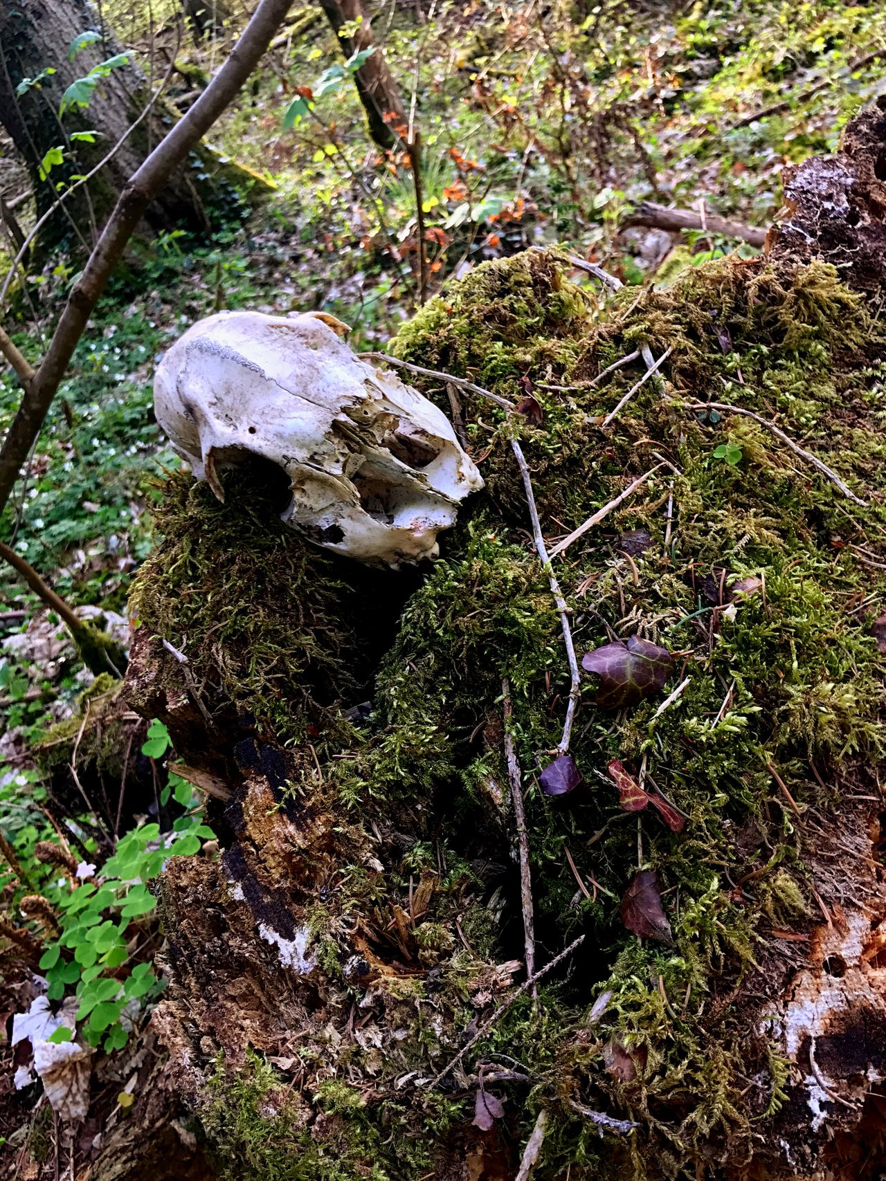 Skull Day Nature Outdoors Close-up dead RIP Skelett Head bones wood green wood