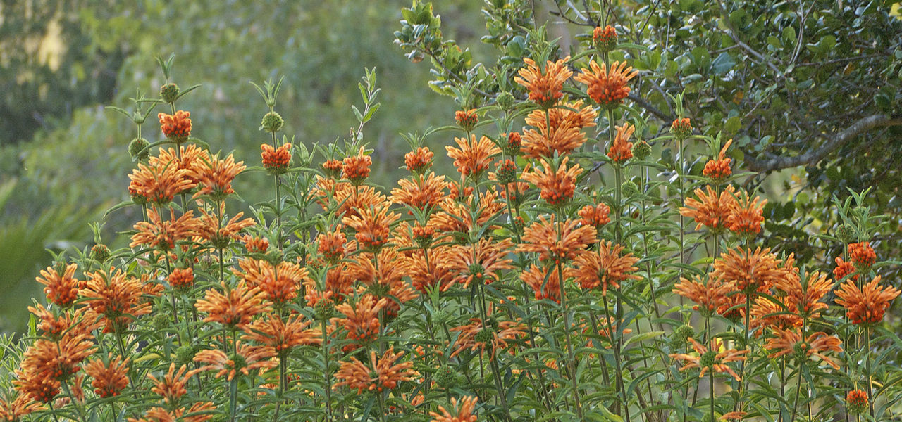 Blooming Close-up Freshness Green Green Color Growth Leonotis Leonurus Lion's Tail No People Orange Color Plant