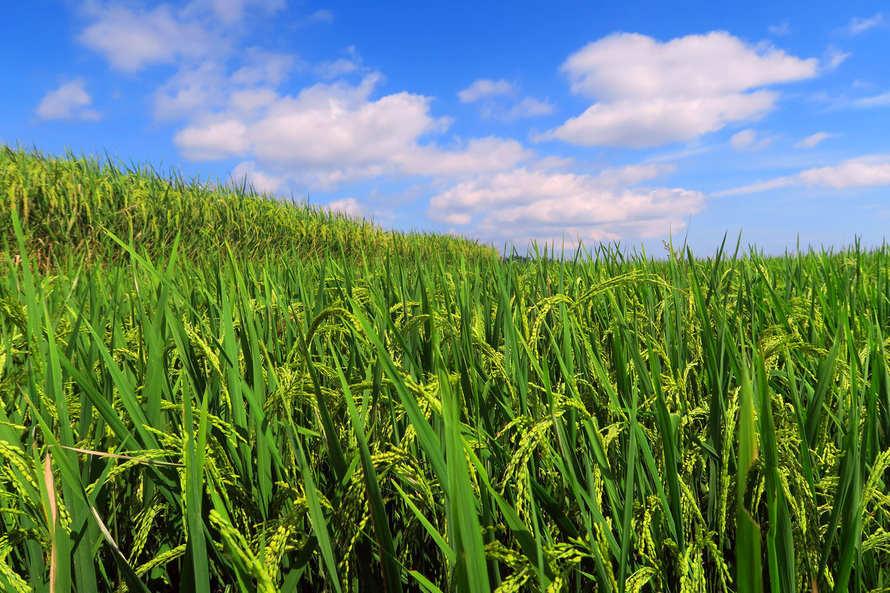 Beautiful stock photos of indonesia, Agriculture, Beauty In Nature, Blue, Cereal Plant
