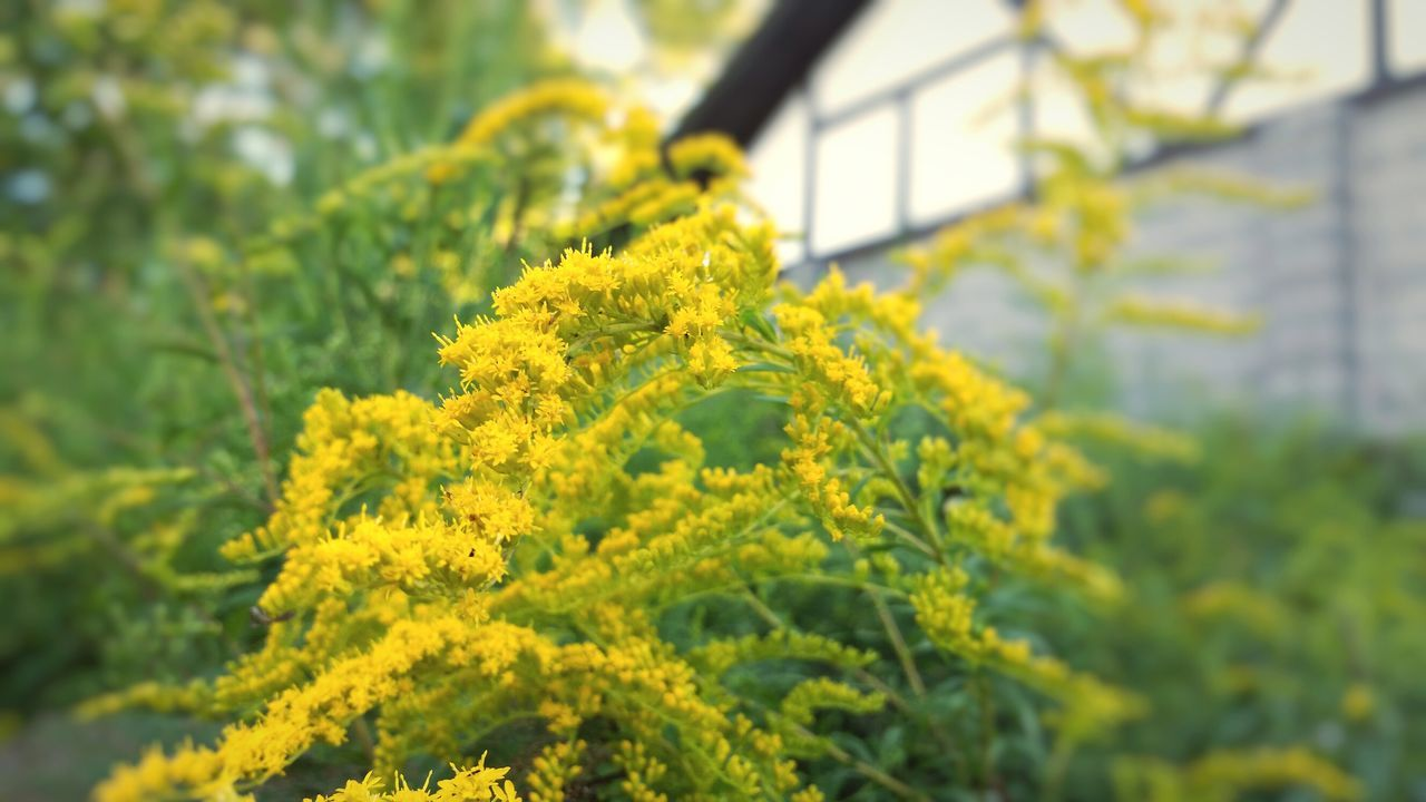 Yellow Flower Growth Freshness Beauty In Nature Focus On Foreground Close-up Botany In Bloom Vibrant Color Goldenrod End Of Summer Autumn Colors Autumn The EyeEm Collection