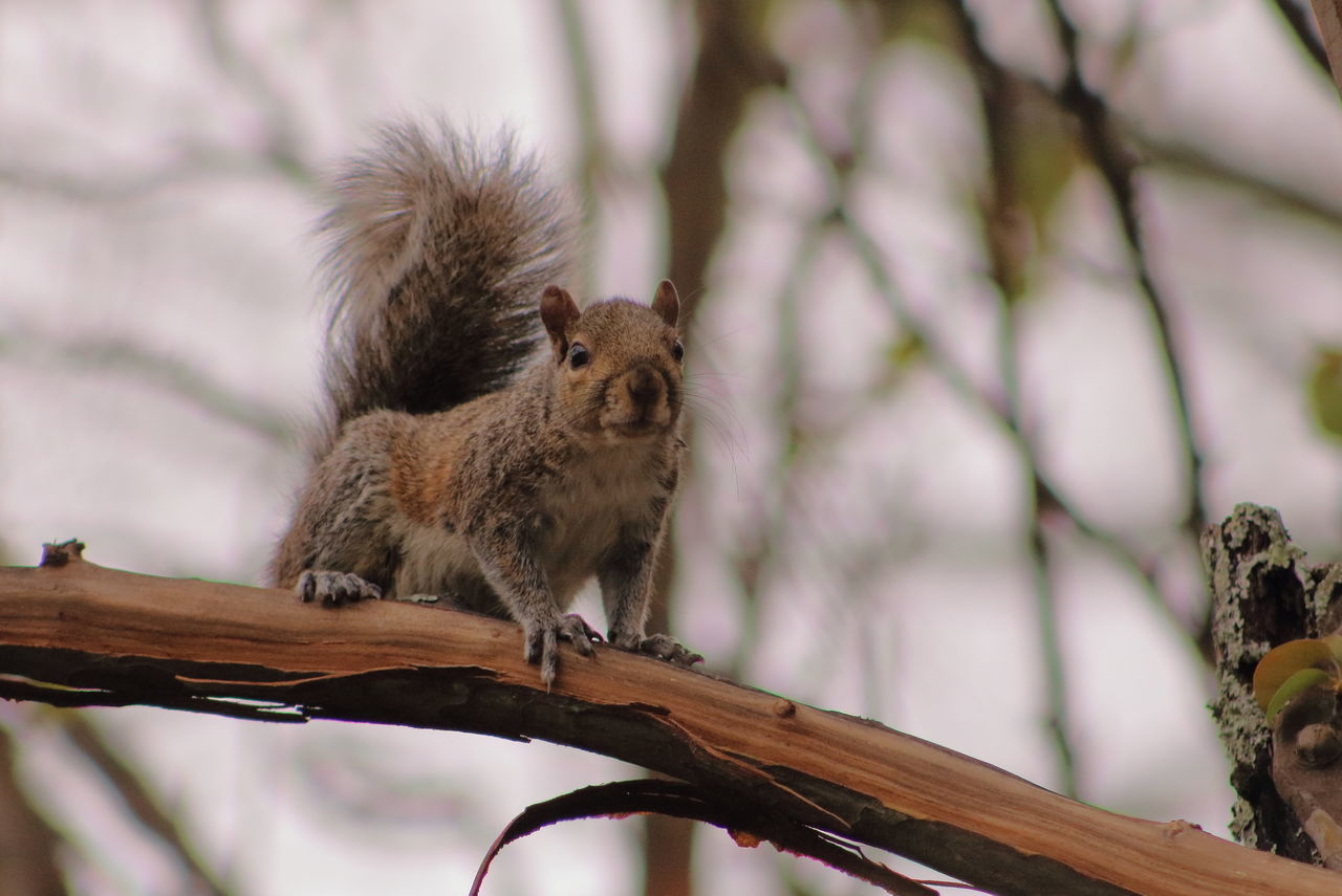 Animal Wildlife Squirrel Animal No People One Animal Animals In The Wild Animal Themes Outdoors Nature Branch Tail Day Mammal Squaready Squareinstapic Squirrelsofinstagram