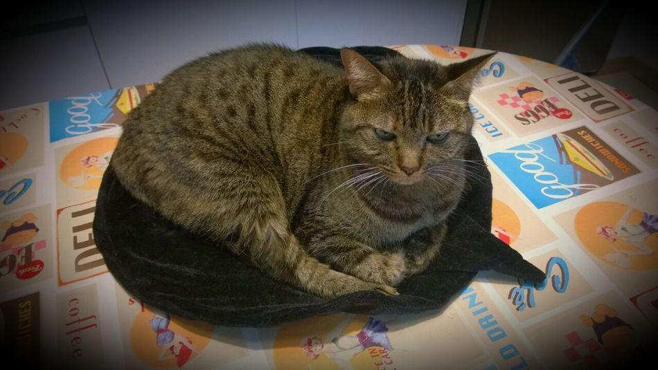 Domestic Cat One Animal Indoors  Pets Lifestyles Dolcettooscherzetto