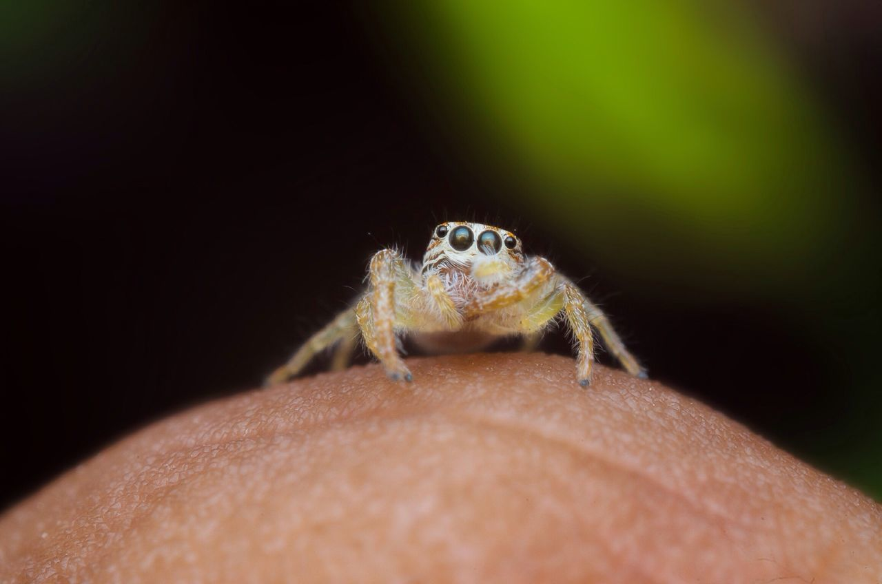 Small wonderer Macro Jumping Spider Close-up Diylighting