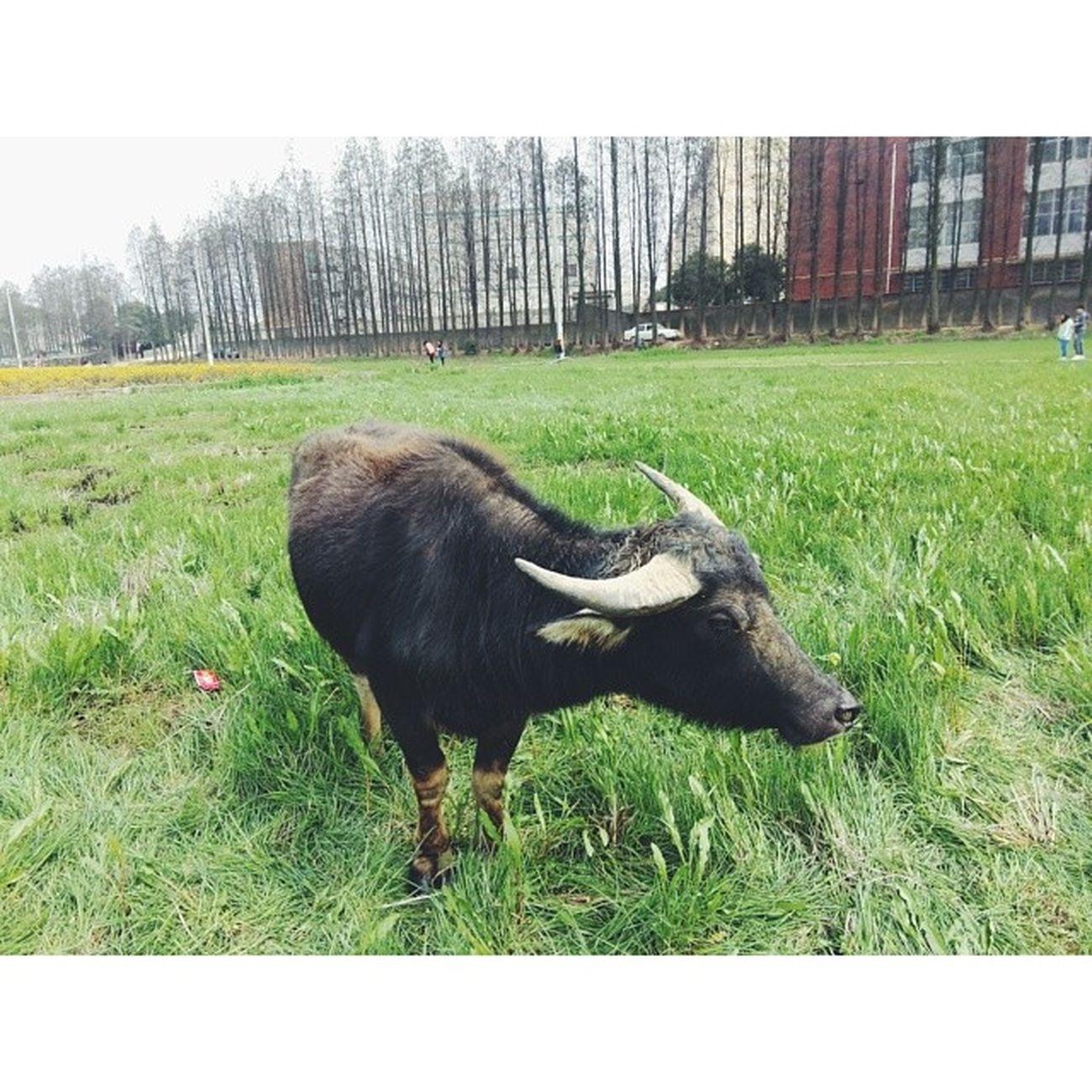 我这是用生命在拍照,被牛追着跑??? 湖南农业大学 长沙 Bull Vscocam vsco changsha hunan 农田 china