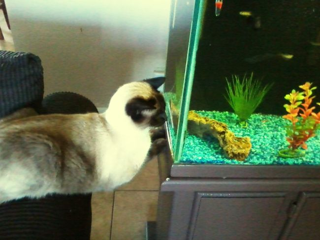 Here Fishy Fishy I Love My Cat ❤