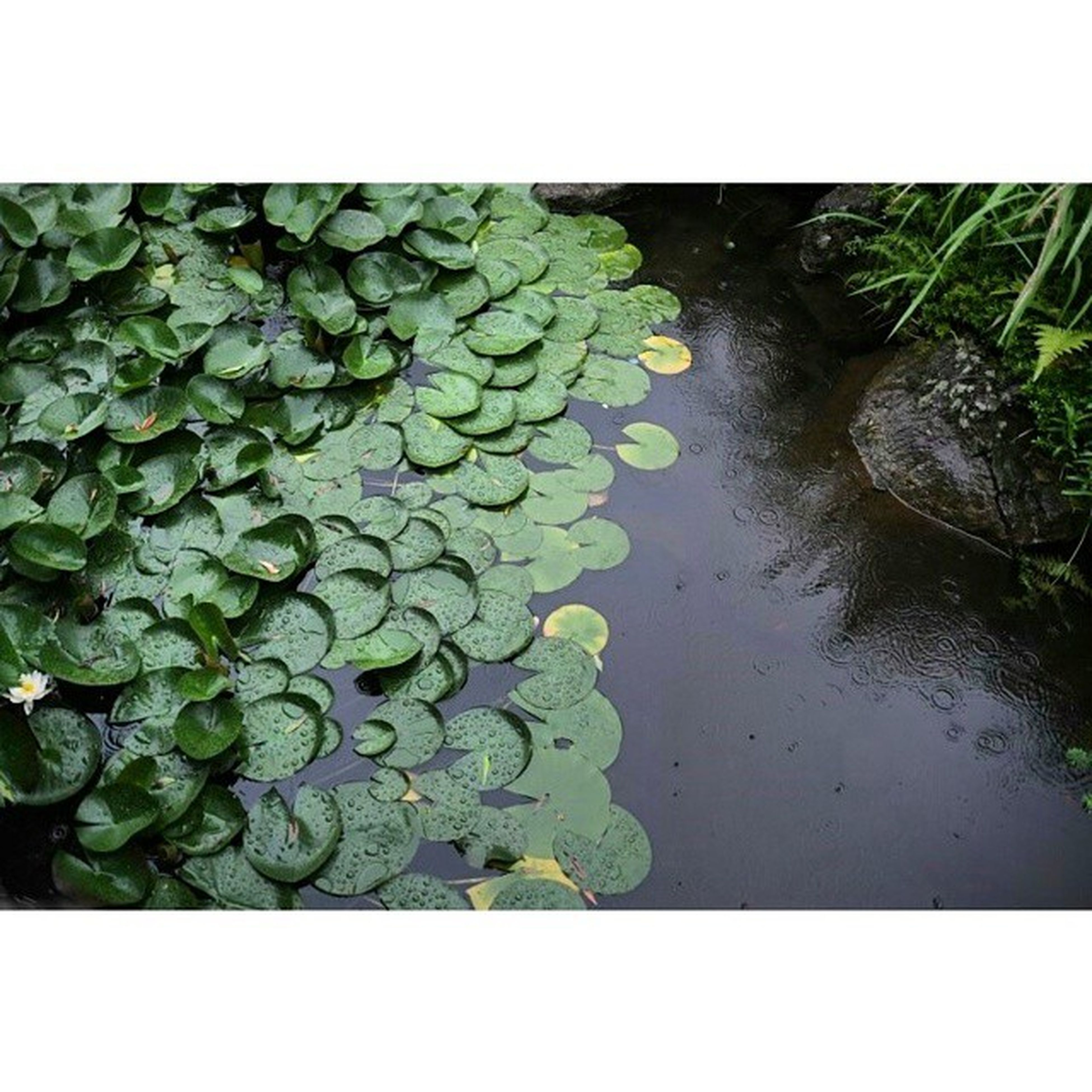 transfer print, auto post production filter, leaf, water, green color, growth, plant, nature, high angle view, pond, beauty in nature, freshness, floating on water, green, tranquility, water lily, close-up, outdoors, day, reflection