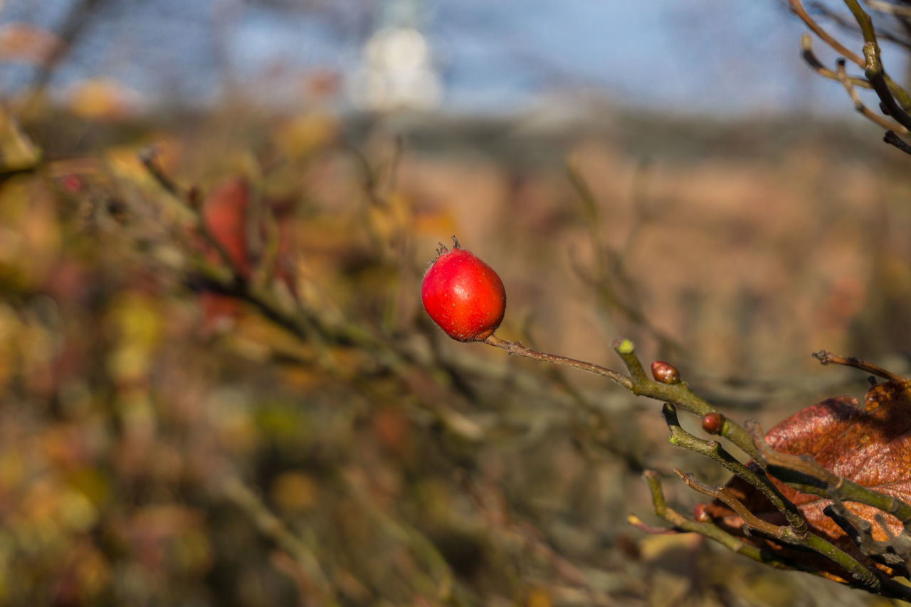 Background Branches Bush Closeup Dried Focus On Foreground Fruit Nature Rain Raw Red Rose Hip Rose Hips Shrub Shrubs Taking Photos Warm Colors