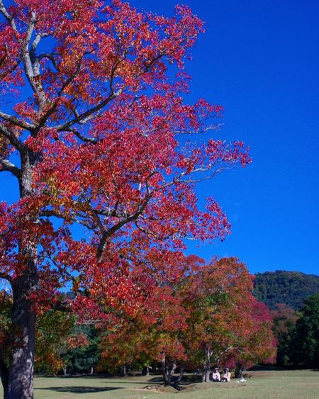 Tree Blue Nature Growth Outdoors Sky Beauty In Nature Day No People Autumn Leaves Day Time Photography Fall Leaves Fall Season 紅葉 秋 ナンキンハゼ Trip Photo Nara Japan