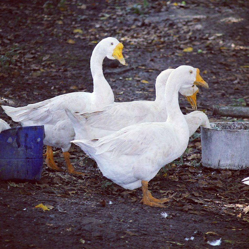 It's time for foods. Angsa Goose Animals Animal unggas farm ternak peternakan