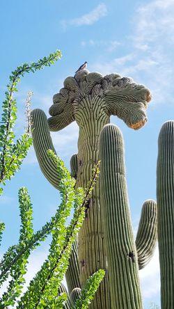 Saguaro Cactus Fan Top Saguaro Ocotillo Dove