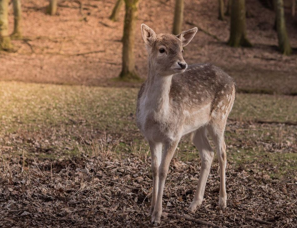 Animal Themes Field Young Animal Fawn Deer Standing Mammal No People Animals In The Wild One Animal Nature Landscape Day Outdoors Nature On Your Doorstep EyeEm Best Shots - Nature Nature_collection Animal Wildlife EyeEm Nature Lover