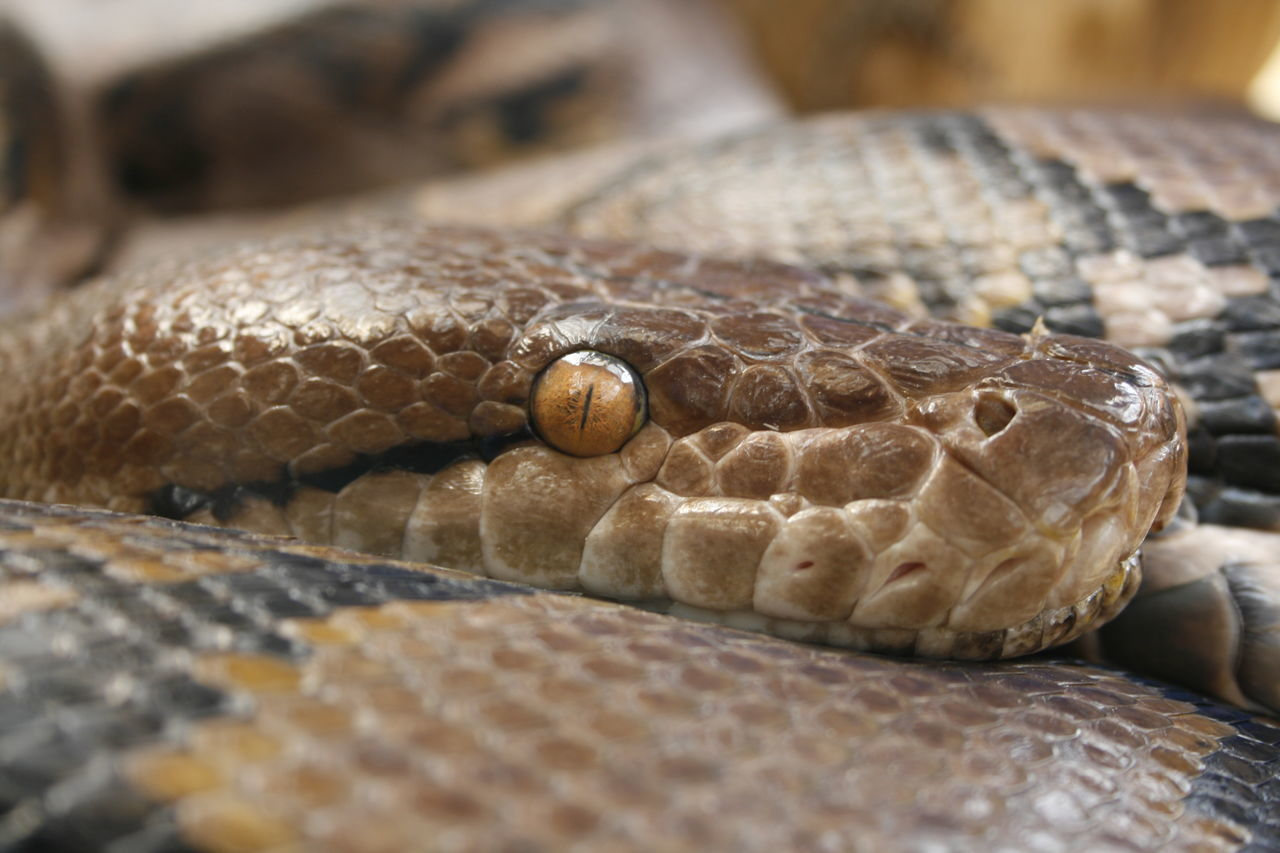 Animal Scale Animal Themes Animal Wildlife Animals In The Wild Close-up Day Nature No People One Animal Outdoors Reptile Snake Snake Eyes