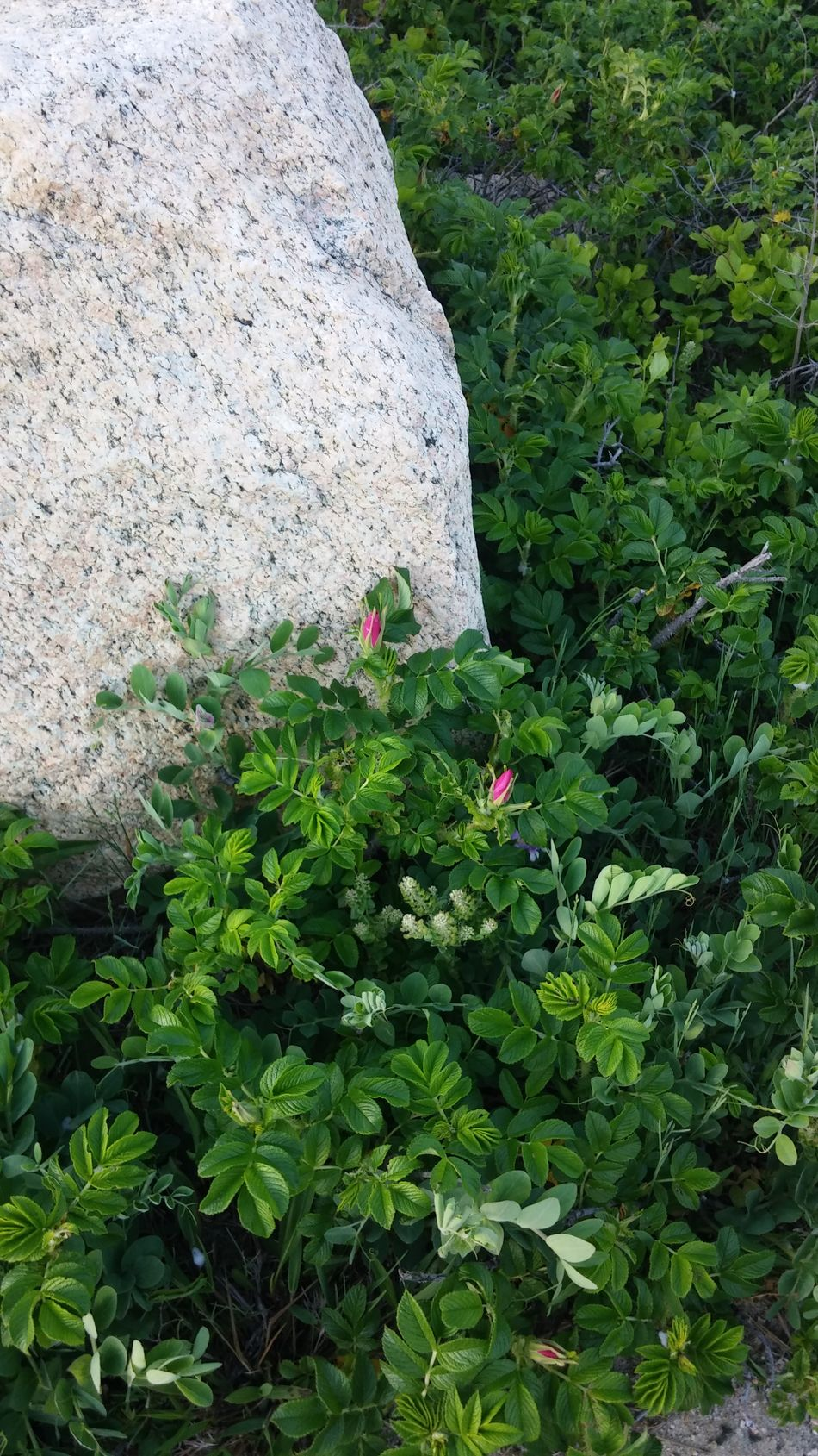 Beach Rose Beauty In Nature Close-up Day Flower Flower Head Fragility Green Color Growth Leaf Nature No People Outdoors Pink Flower Plant Rock Small Flowers Small Pink Flower