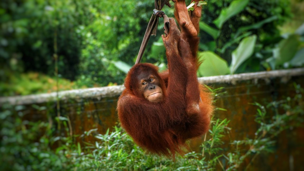 Orangutan Animal Themes Primate Mammal Animals In The Wild Monkey Animal Wildlife Tree Outdoors No People Day Nature Hanging Togetherness Sumatran Orangutan