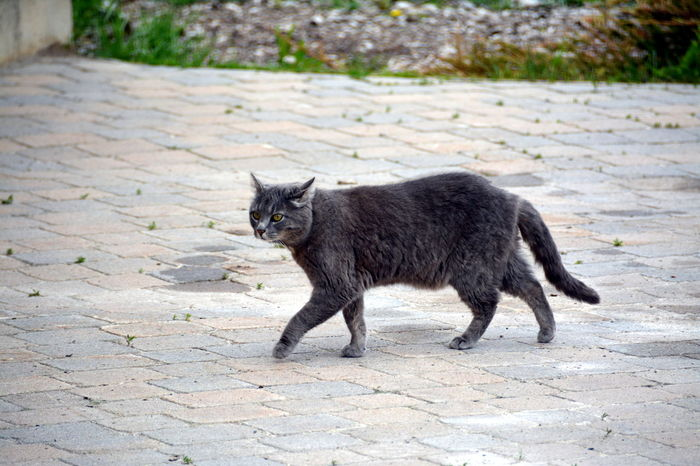 Animal Themes Black Color Cat Cat Lovers Cat Walking Cats Cats Of EyeEm Day Domestic Cat Mammal Mystic Nature No People One Animal Outdoors Pet Pet Photography  Portrait Prowling Road Walking
