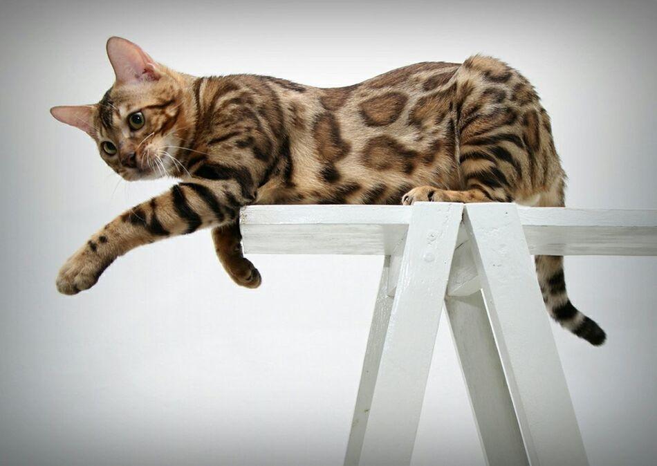 Animal Cats Meow Pets Bengal Cat Cute Pets Mycat Taking Photos