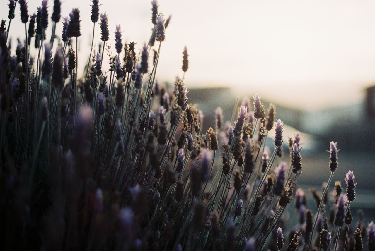 very beautiful sunlight Beauty In Nature Close-up Day Depth Of Field Field Film Film Photography Floral Flower Flowers Fragility Freshness Growth Nature New Zealand No People Outdoors Plant Plants And Flowers Sunset Tranquility