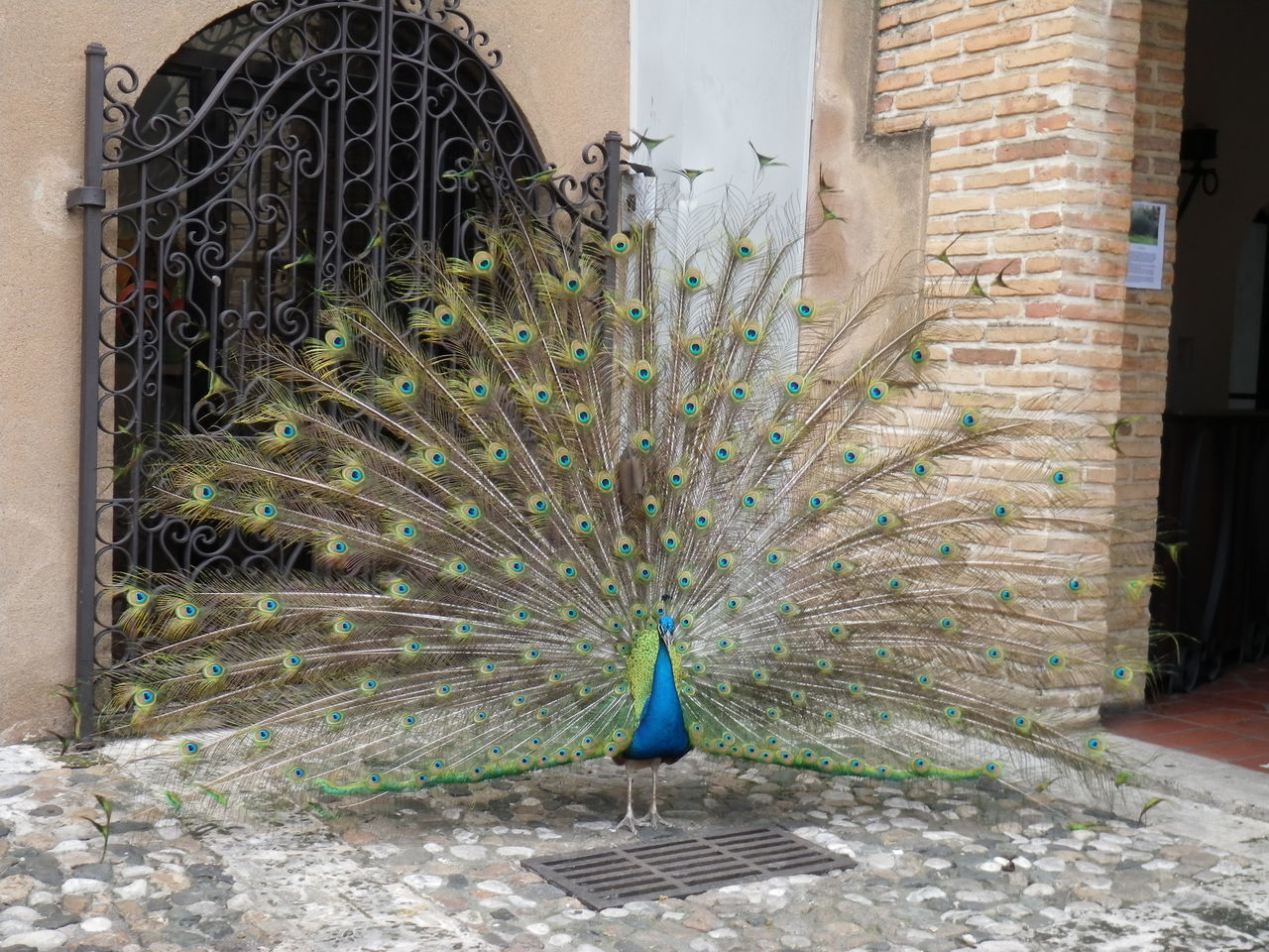 Beautiful stock photos of peacock,  Animal Themes,  Animals In The Wild,  Architecture,  Beauty In Nature