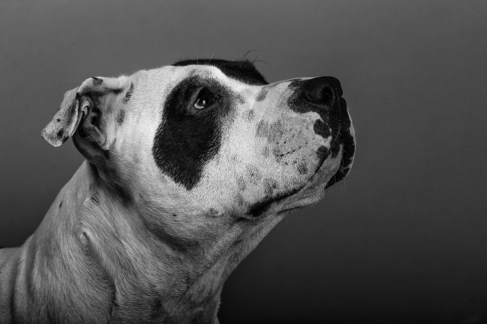 Beautiful stock photos of schwarz, American Staffordshire Terrier, Animal Head, Animal Themes, Close-Up