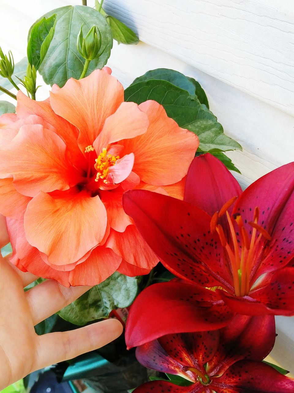 flower, petal, human hand, human body part, real people, freshness, flower head, fragility, one person, leaf, beauty in nature, close-up, day, nature, outdoors, hibiscus, people