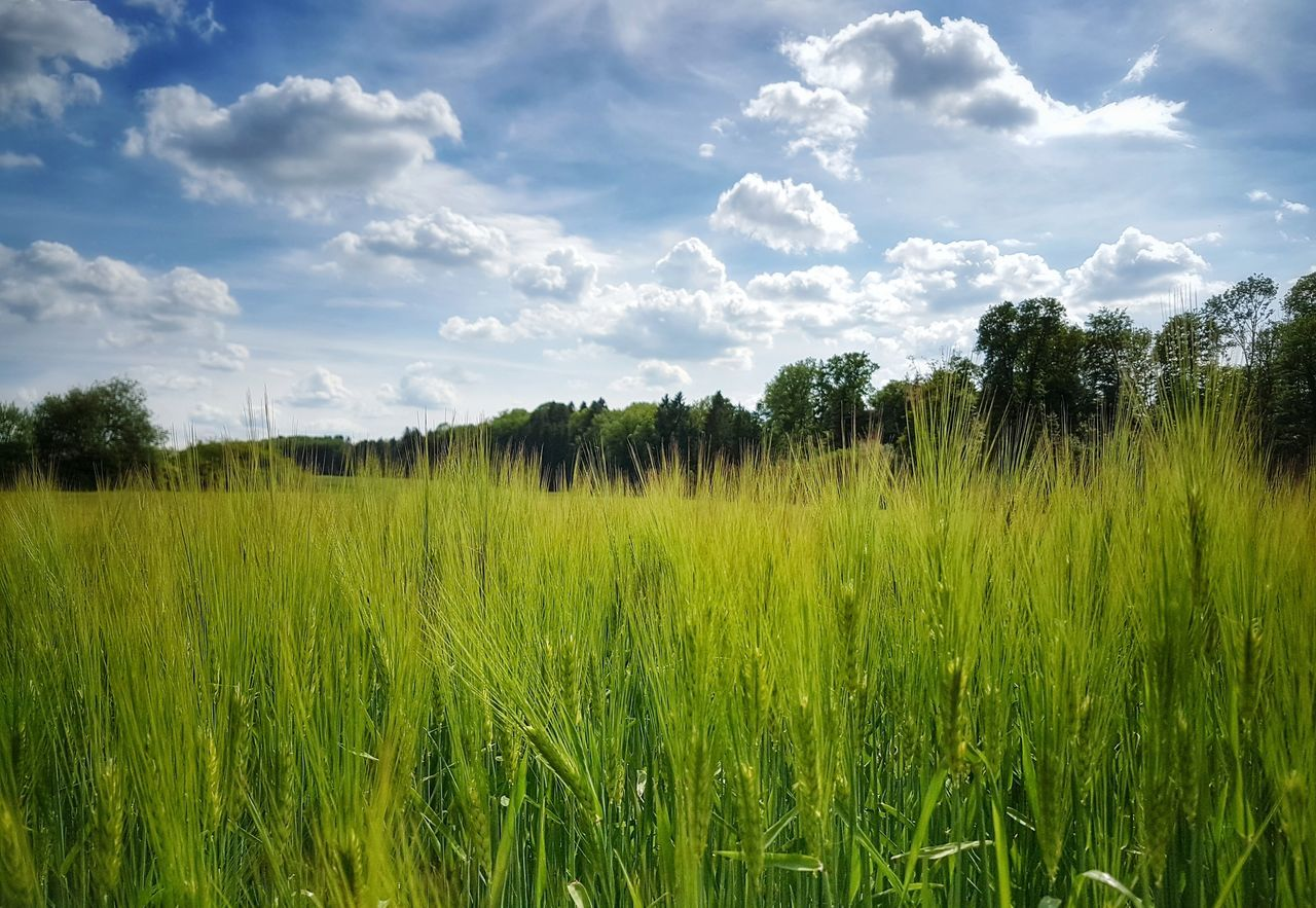 Agriculture Growth Cereal Plant No People Rural Scene Outdoors Green Color Food Nature Beauty In Nature Cloud - Sky Scenics Taking Photos Field Agriculture My Point Of View Landscape_Collection The Great Outdoors - 2017 EyeEm Awards Landscape_photography Landscape Plant Grass Fragility Growth Summer